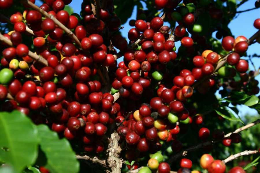 Around SP COFFEE PLANTATION HACIENDA TOUR (8hrs)