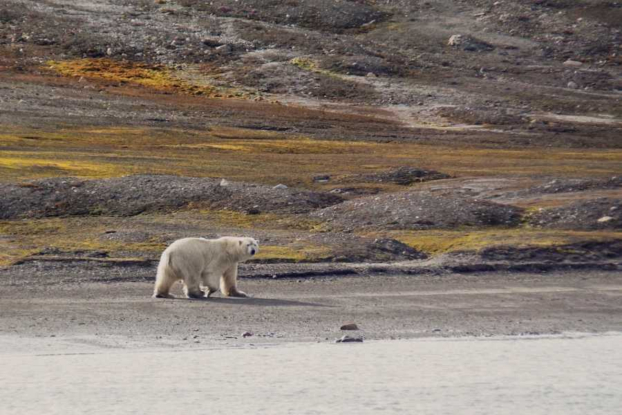 Maybe Sailing Realm of the Polar Bear