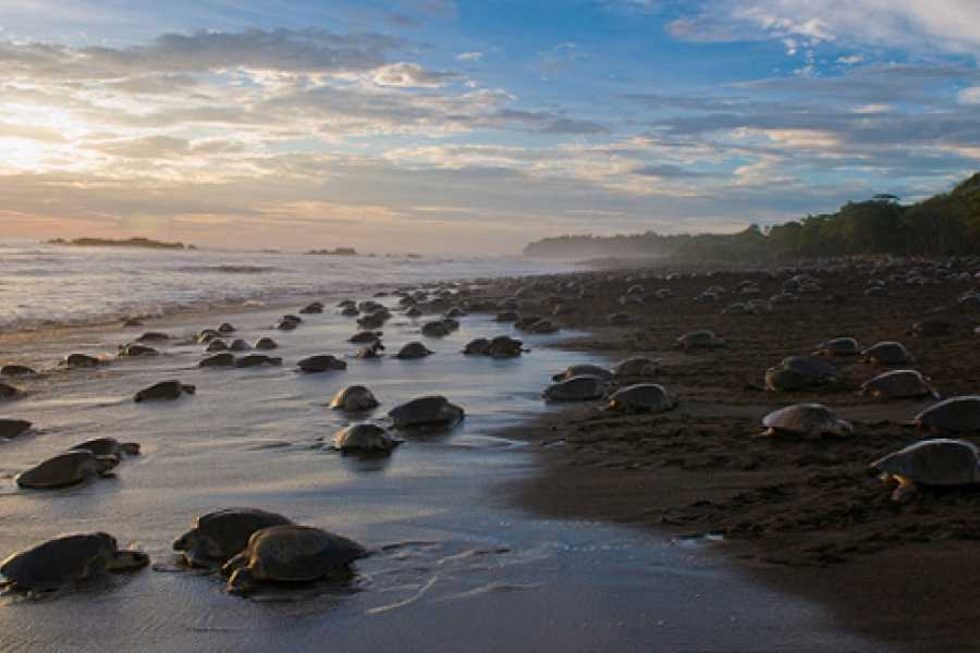 Krain Concierges Ostional Turtle Nesting Tour