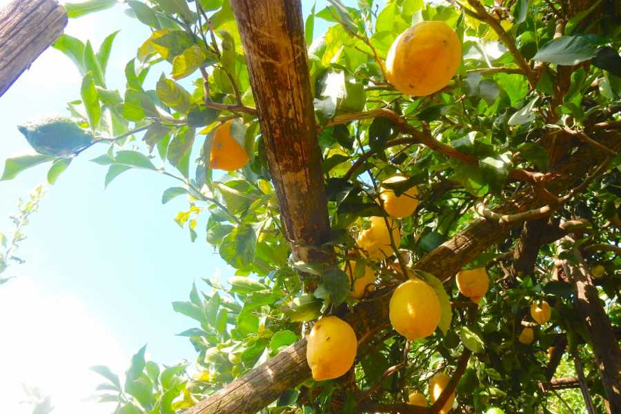 Travel etc Lemon Tour from Amalfi Coast