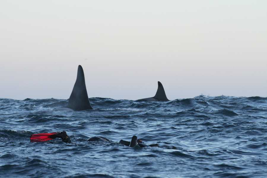 Lofoten Opplevelser Snorkeling with the orcas