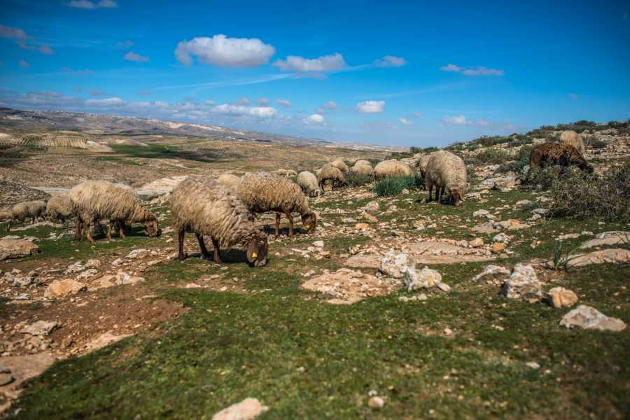 Wild-Trails A Day with the Shepherds: Palestinian Bedouins