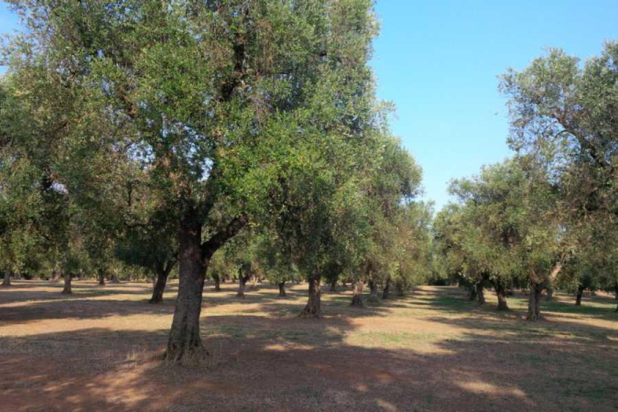 Destination Apulia OIL TASTING E PIC-NIC IN CAMPO