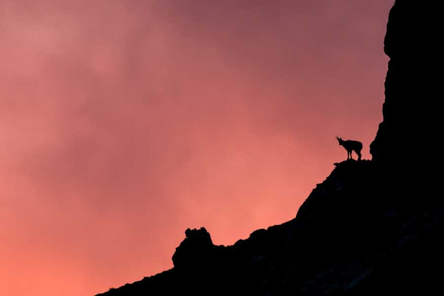Wildlife Adventures The most beautiful chamois in the world
