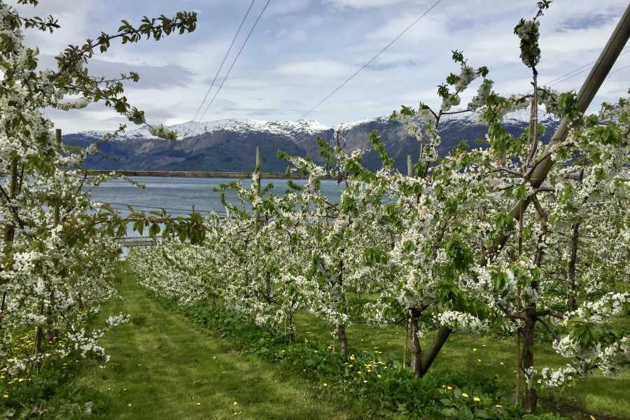 rosendalevent FRUIT BLOSSOMING IN HARDANGER