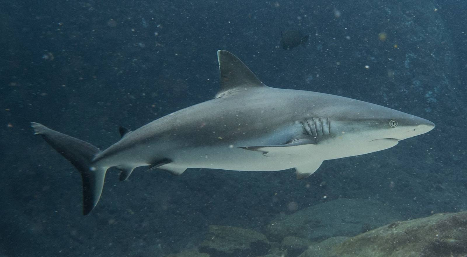 Round Island Shark Dive (certified diver)
