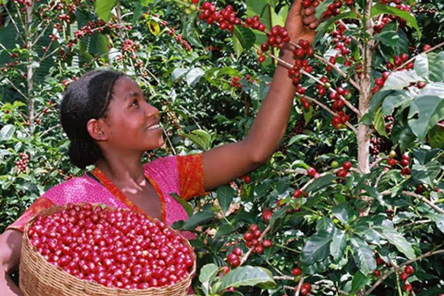 Walkbout International LLC Gastronomic Experiences - Ethiopia - 12 Day Coffee Tour #1