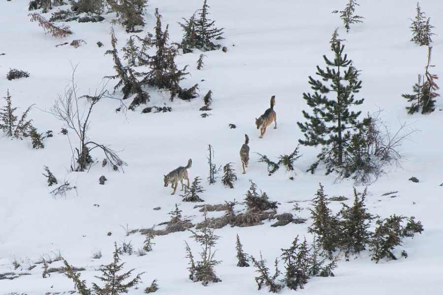 Wildlife Adventures Ti racconto del lupo