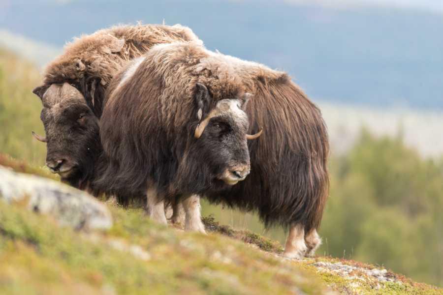 Visit Innherred Overnatting Kongsvold Fjellstue