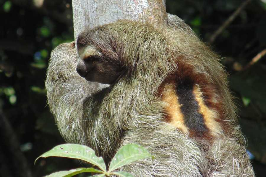 Tour Guanacaste On-Line Bijagua Sloth Search and Discovery
