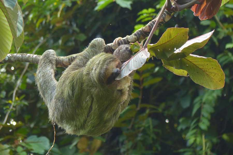 Tour Guanacaste Bijagua Sloth Search and Discovery
