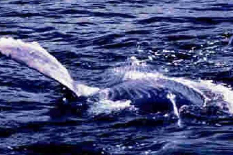 Tour Samana With Terry Whales Santo Domingo - Boca Chica: Famous Kim Beddall of Whale Samana Whales+Cayo Levantado Island