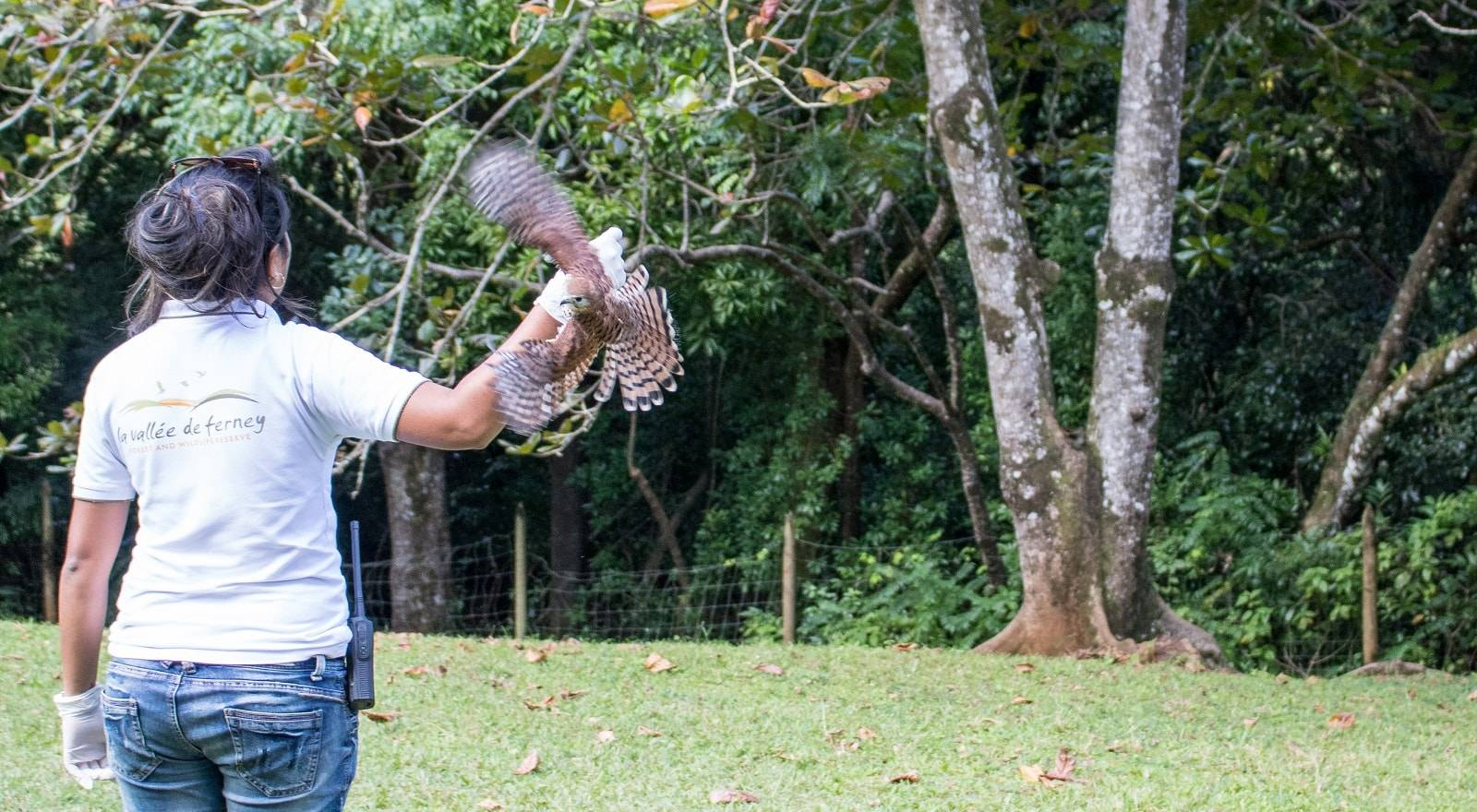 Kestrel Feeding at  La Vallée de Ferney - One of the last natural sanctuaries in Mauritius