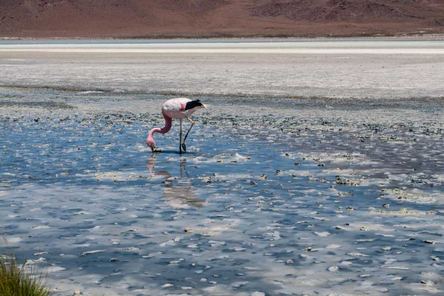 Uyuni Expeditions FULL DAY ANDEAN LAGOONS - UYUNI 1D