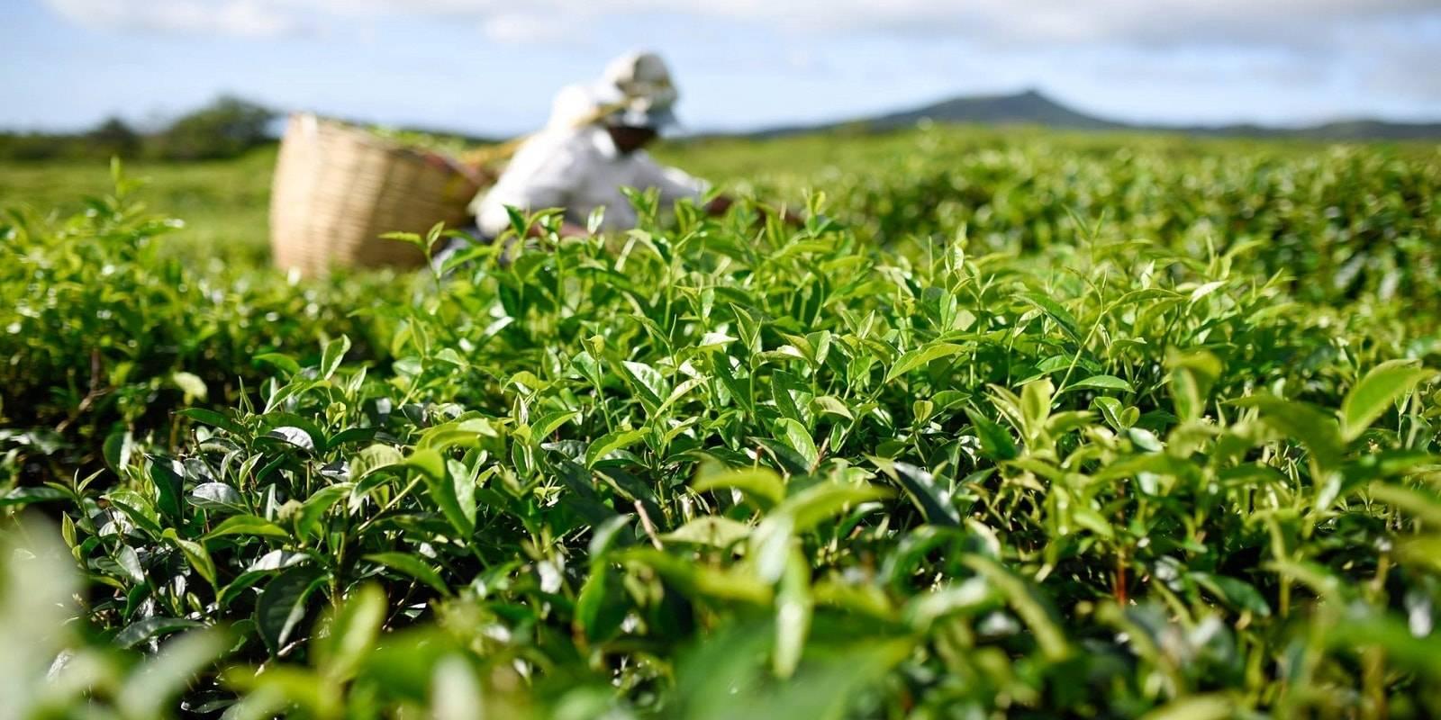Le Domaine de Bois Chéri - The Mauritius Tea Factory