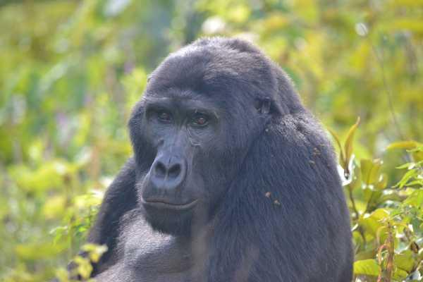 2-Day Go Gorilla Trekking in Bwindi Via Kigali