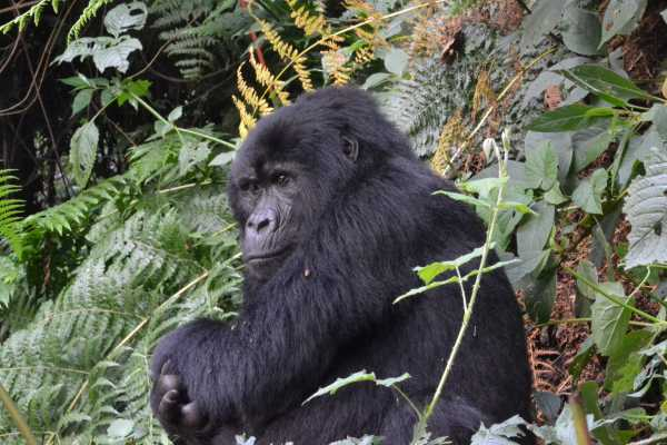 13 DAY UGANDA: GOLDEN MONKEY, GORILLA, CHIMPS AND WILDLIFE SAFARI