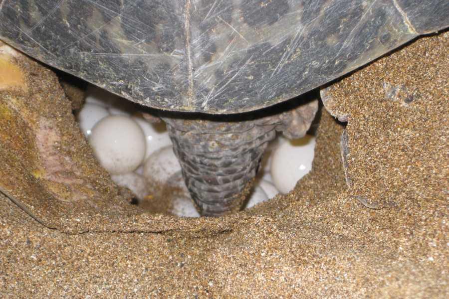 Tour Guanacaste Green Sea Turtle Nesting Tour