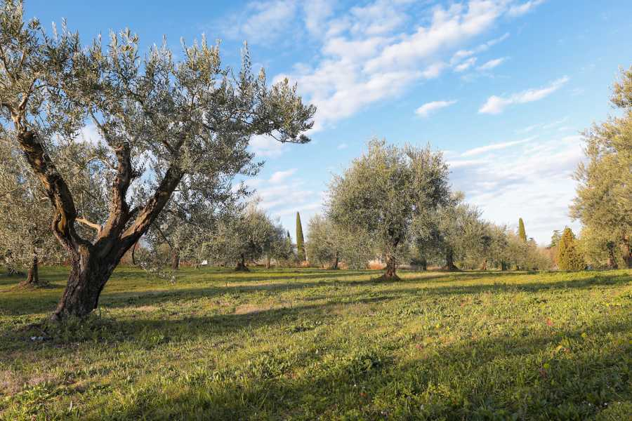 Bologna Welcome Walk among the olive groves, olive oil tasting and lunch at Palazzo di Varignana