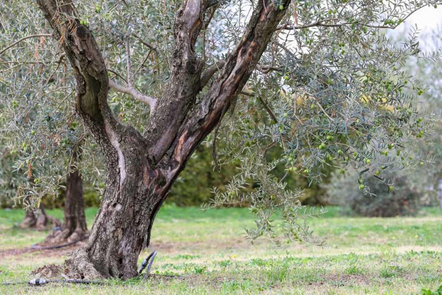 Bologna Welcome - eXtraBo Passeggiata tra gli oliveti, degustazione olio extravergine e pranzo a Palazzo di Varignana