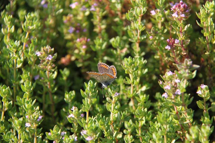IF Imola Faenza Butteflies between Herb Garden and Cardello