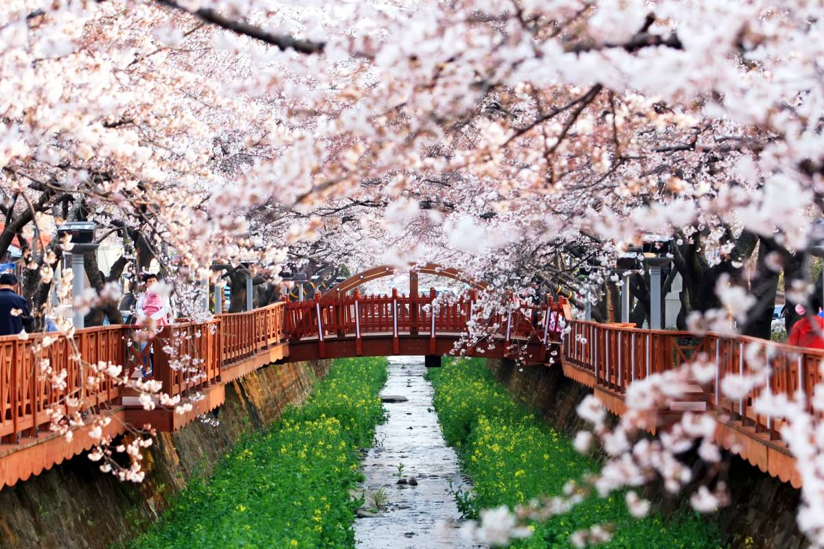 Kim's Travel 45 [Seasonal!] Cherry Blossom Festival in Jinhae Gunhangje