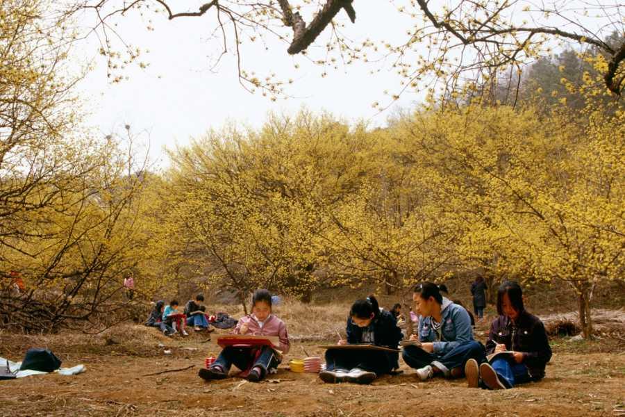 Kim's Travel 韩国庆典:求礼山茱萸花庆典