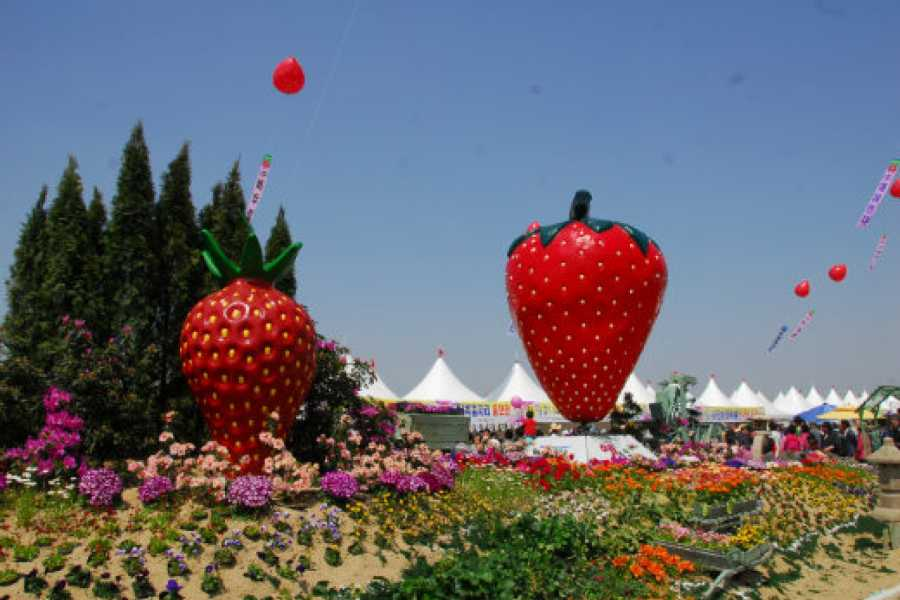 Kim's Travel Nonsan Strawberry Festival