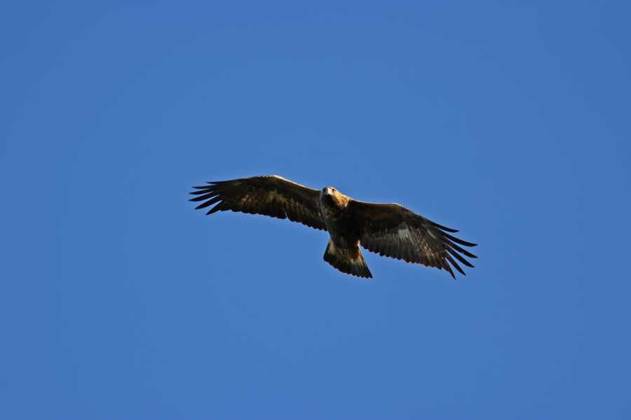 Ardnamurchan charters Mull Sea Eagles