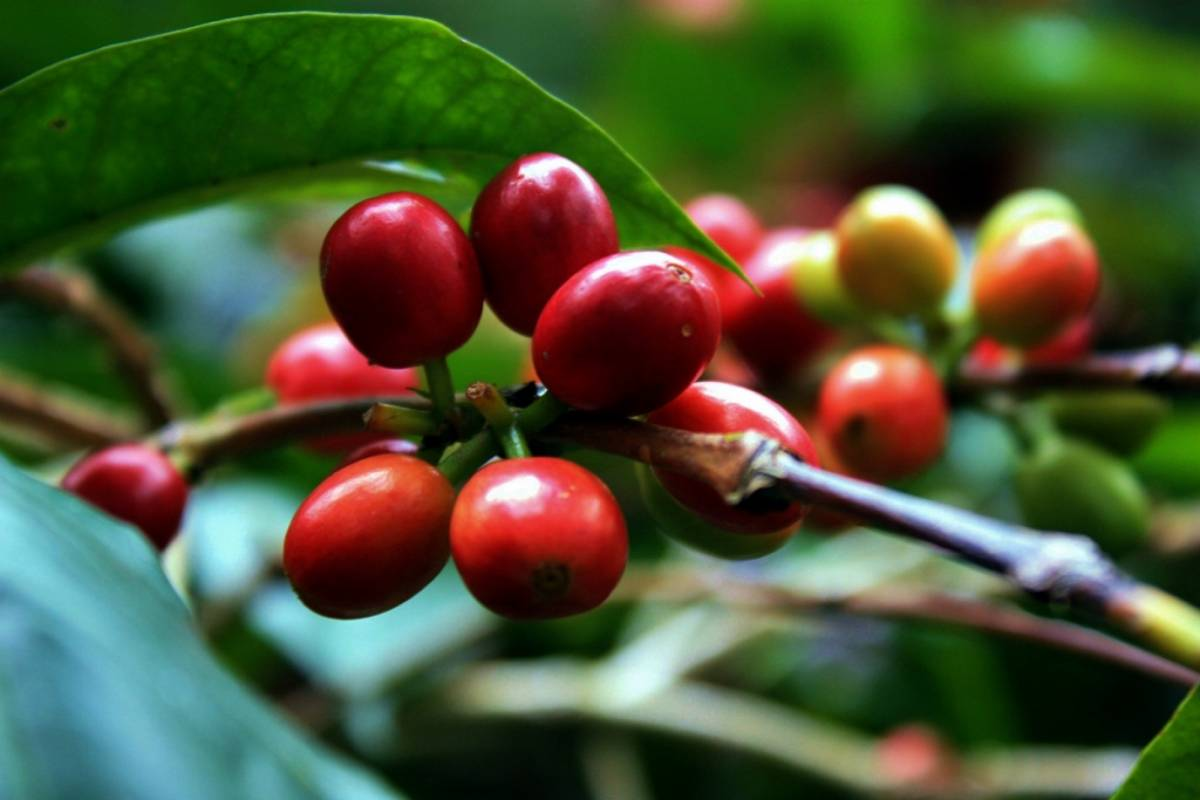 Bogota Henry Tours 12. COFFEE PLANTATION, 8 HOURS PRIVATE TOUR