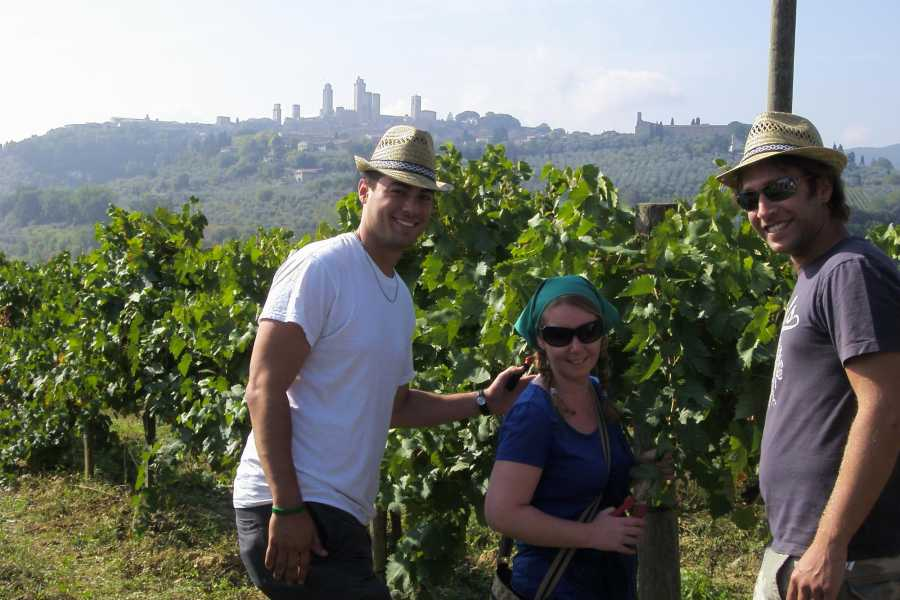 Tuscany on a Budget tours HARVEST TOUR