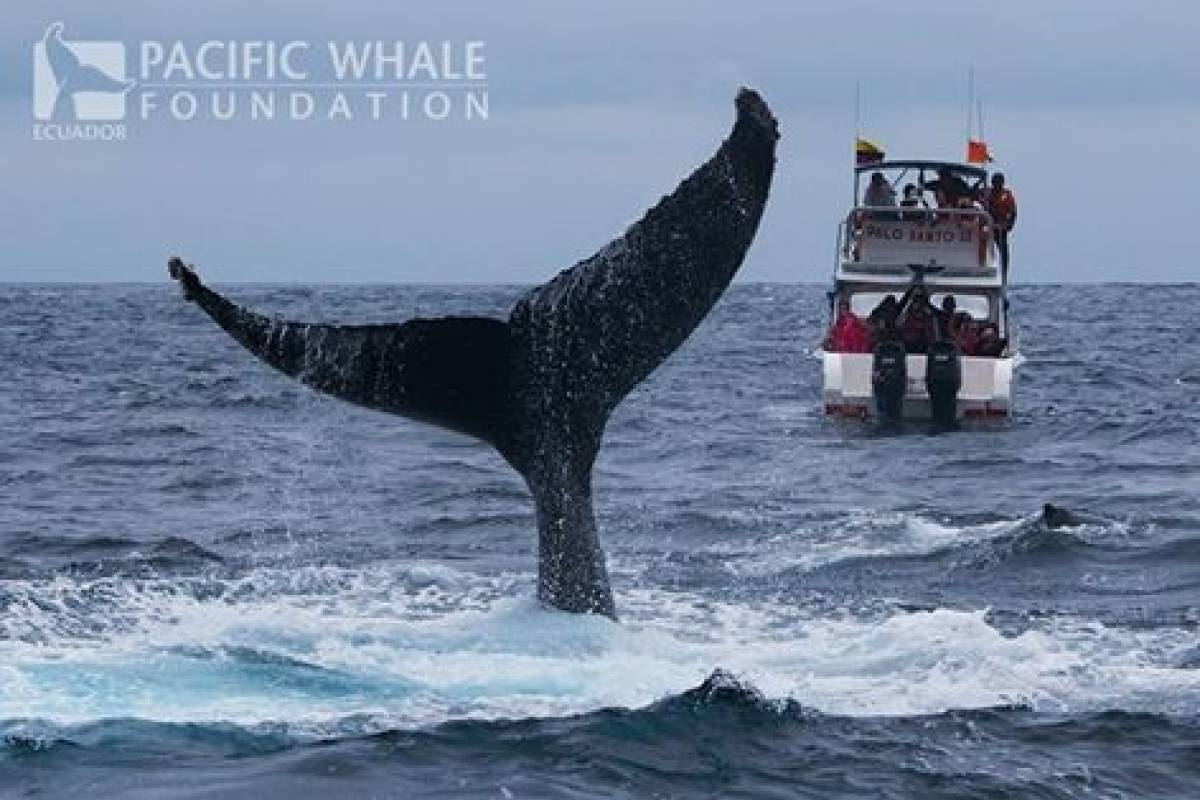 PALO SANTO TRAVEL 2. WHALE WATCHING IN ISLA DE LA PLATA - ECUADOR - JUNE TO OCTOBER