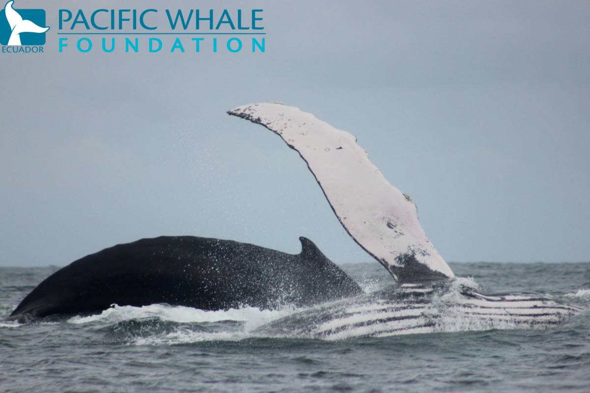 PALO SANTO TRAVEL 2. WHALE WATCHING FROM PUERTO LOPEZ IN ECUADOR