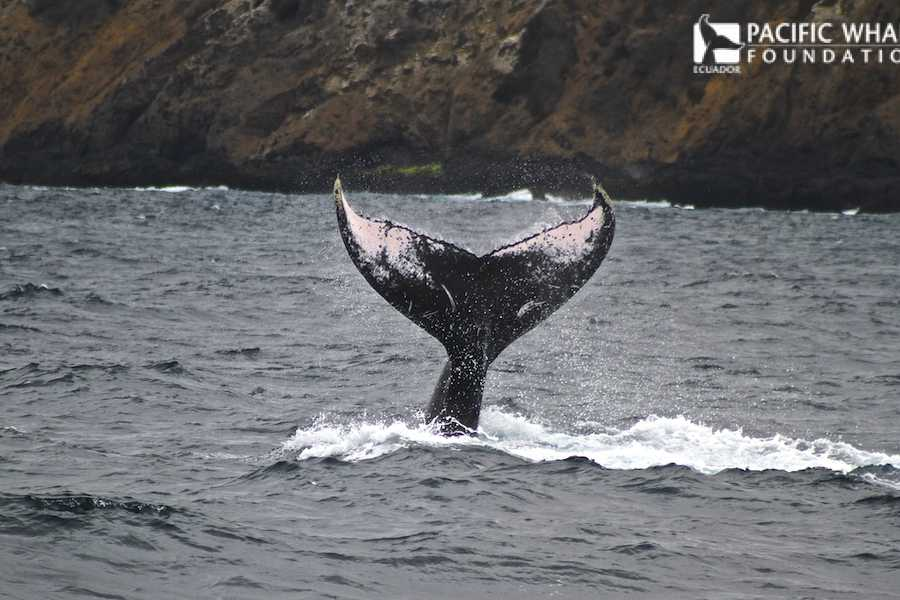 PALO SANTO TRAVEL WHALE WATCHING FROM PUERTO LOPEZ IN ECUADOR