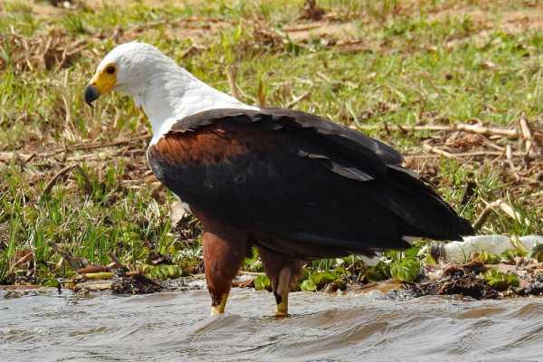 11 Days Uganda Forest Birding Holiday