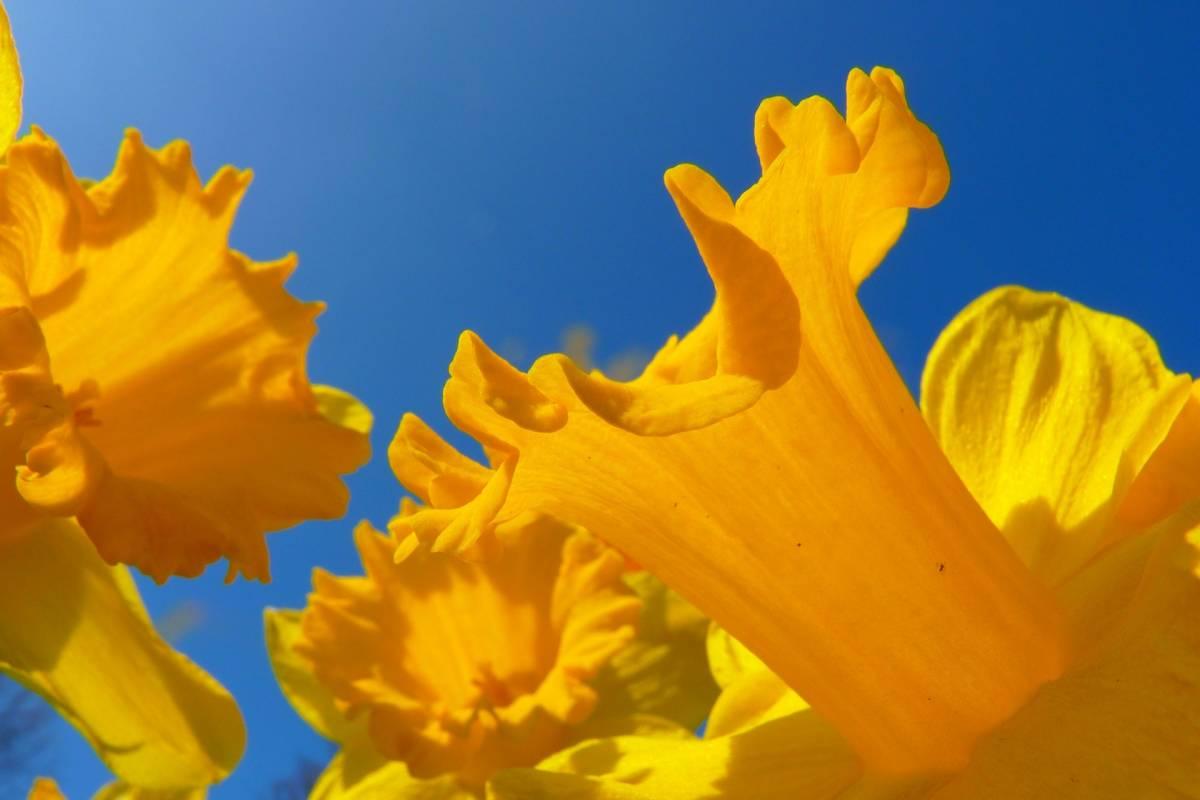 Oates Travel St Ives CORNWALL GARDEN SOCIETY SPRING FLOWER SHOW AT BOCONNOC