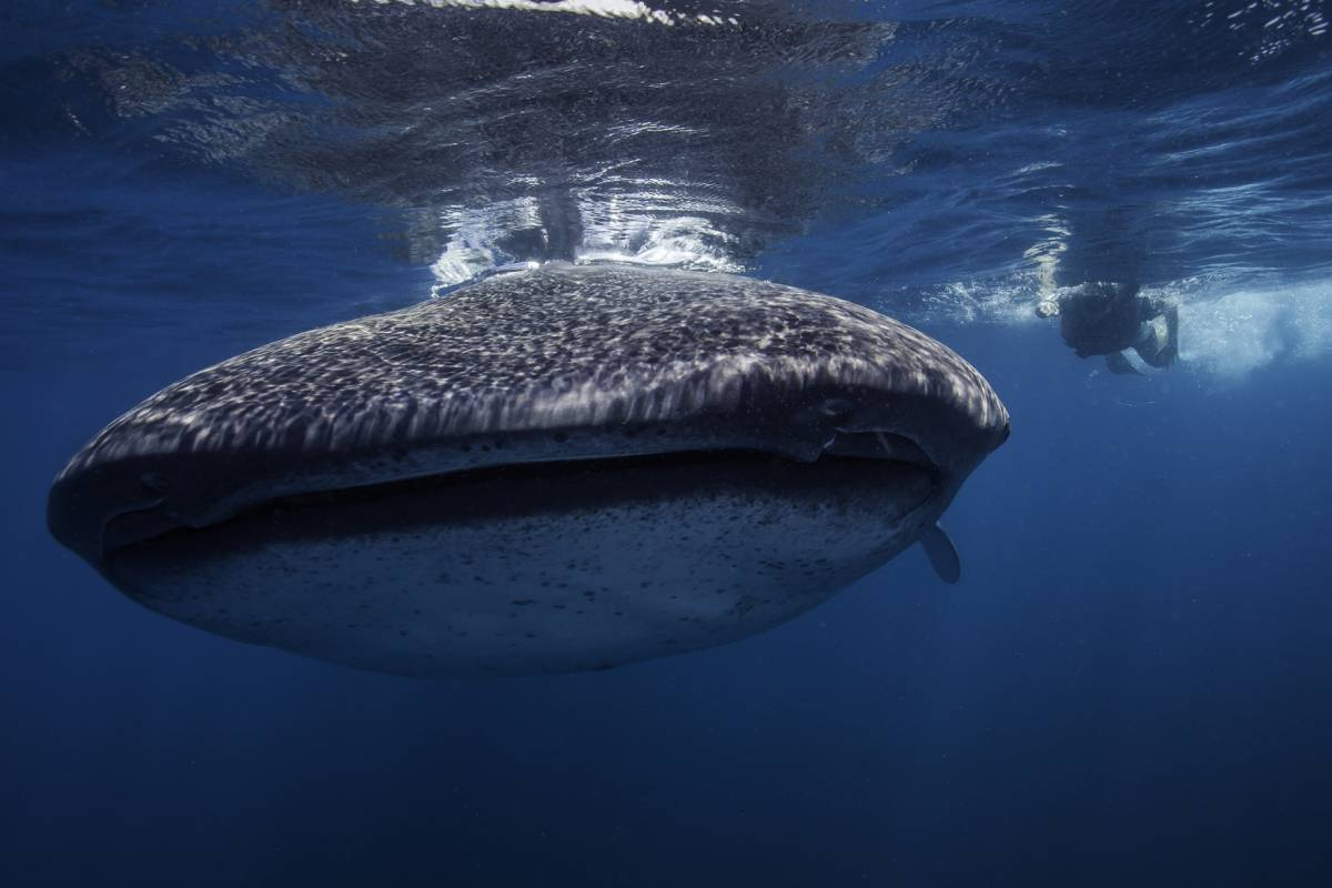 Cancun Vacation Experts WHALE SHARK