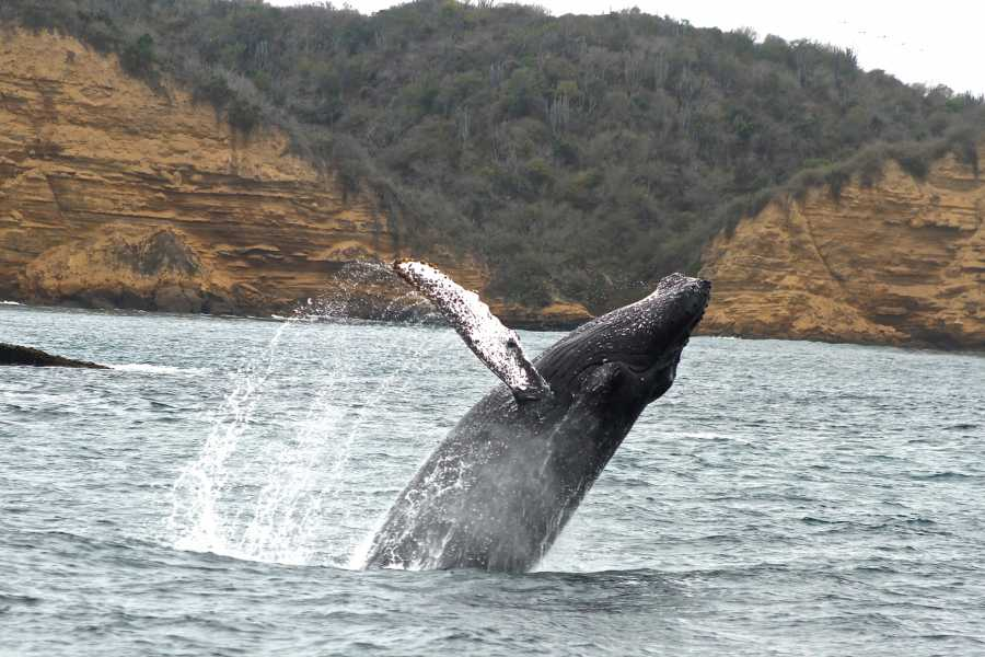 PALO SANTO TRAVEL MANTA | WHALE WATCHING | TOUR | ECUADOR