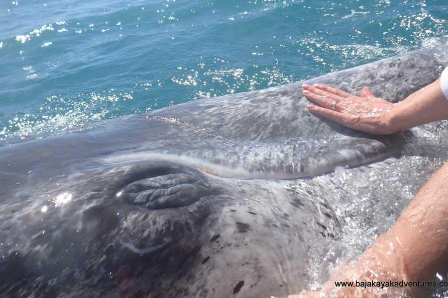 Baja Kayak Adventure Tours Ltd. Blue Whale Base Camp - 4 Day Package Tour