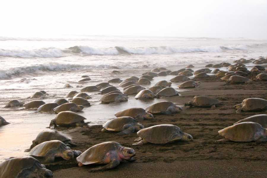 Tour Guanacaste Ostional Turtle Nesting Experience
