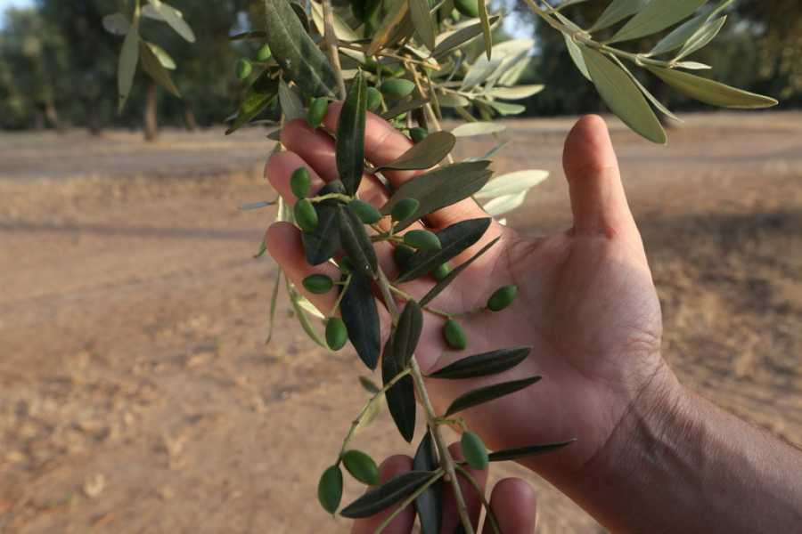 Destination Apulia RURAL EXPERIENCE WITH OLIVE HARVESTING