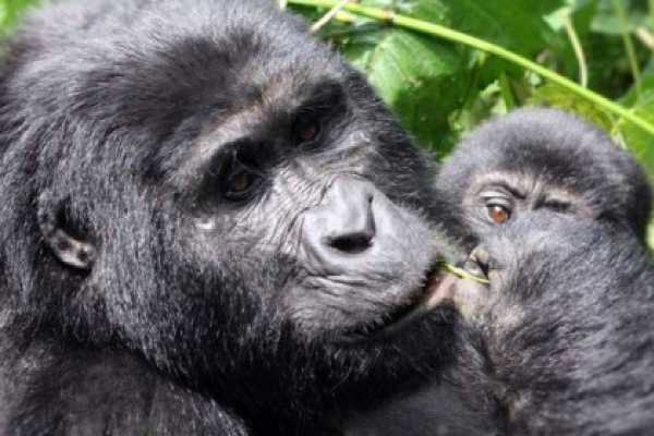 10 Days Uganda Gorillas & Game Safari