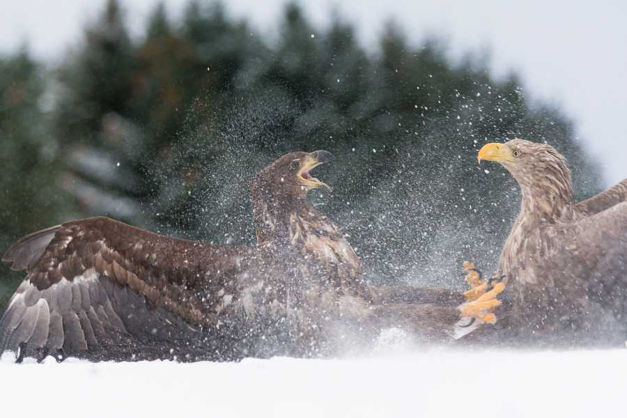 WildPhoto Norway Winter Eagles 2019