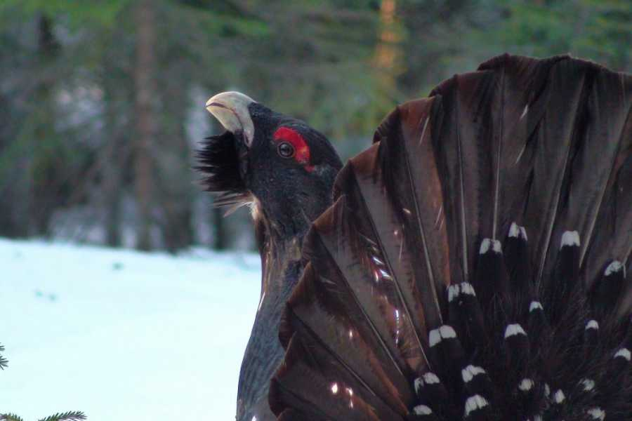 Finnskogen Adventures Experience capercaillies and black grouses mating ritual in Finnskogen
