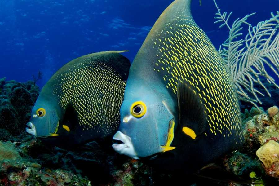 "Coral divers PADI ""Aware Fish ID"" Specialty"