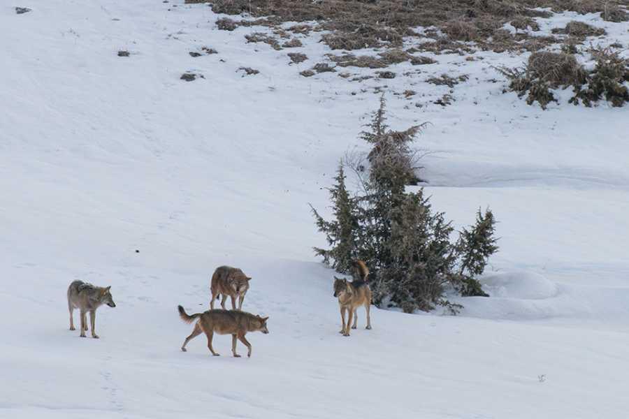 Wildlife Adventures Wolf tracking in Abruzzo