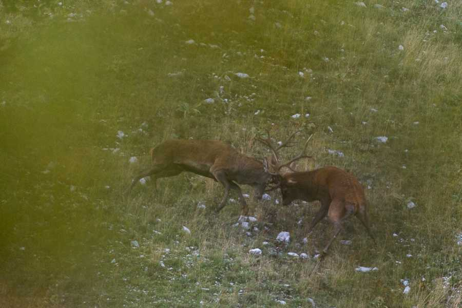 Wildlife Adventures The mating season of deers