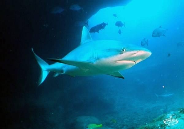 Plongée dans la fosse aux requins de l'Île