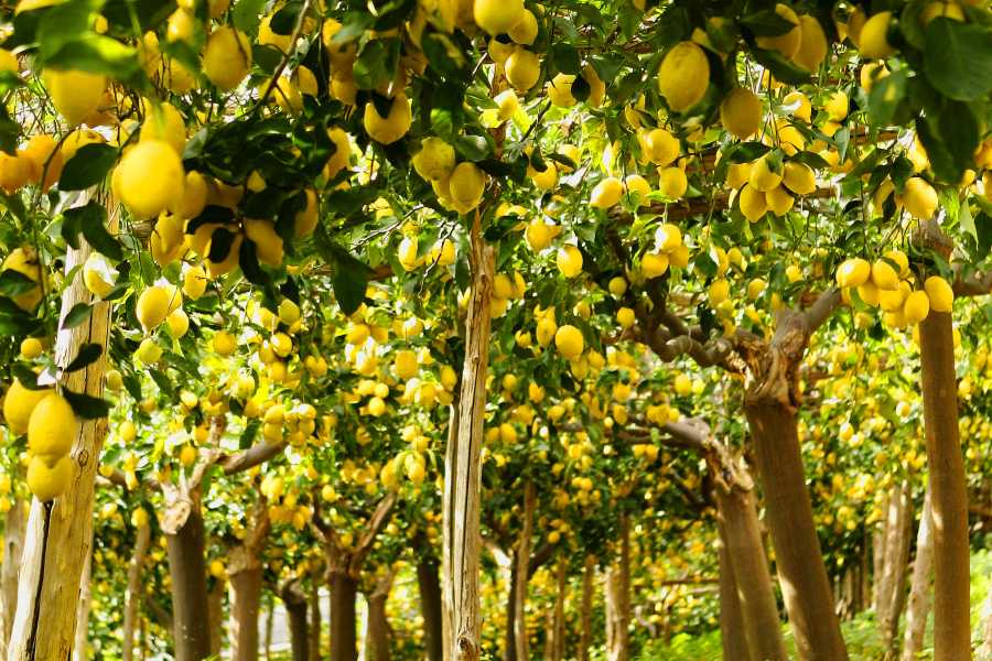 Di Nocera Service Limoncello, Oil & Inlaid Tour and Sorrento Countryside from Ravello