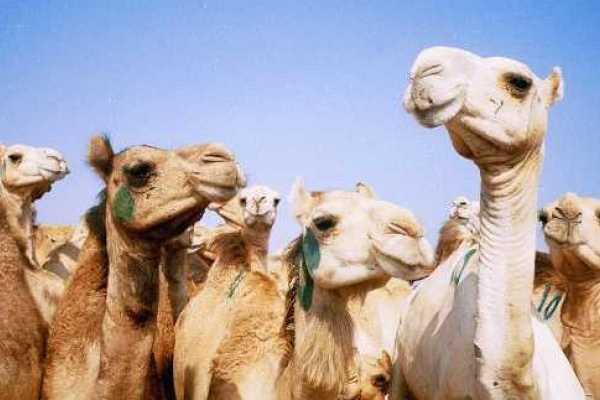 4 Hours tour to Birqash Camel market